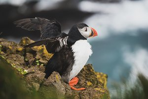 Single atlantic puffin