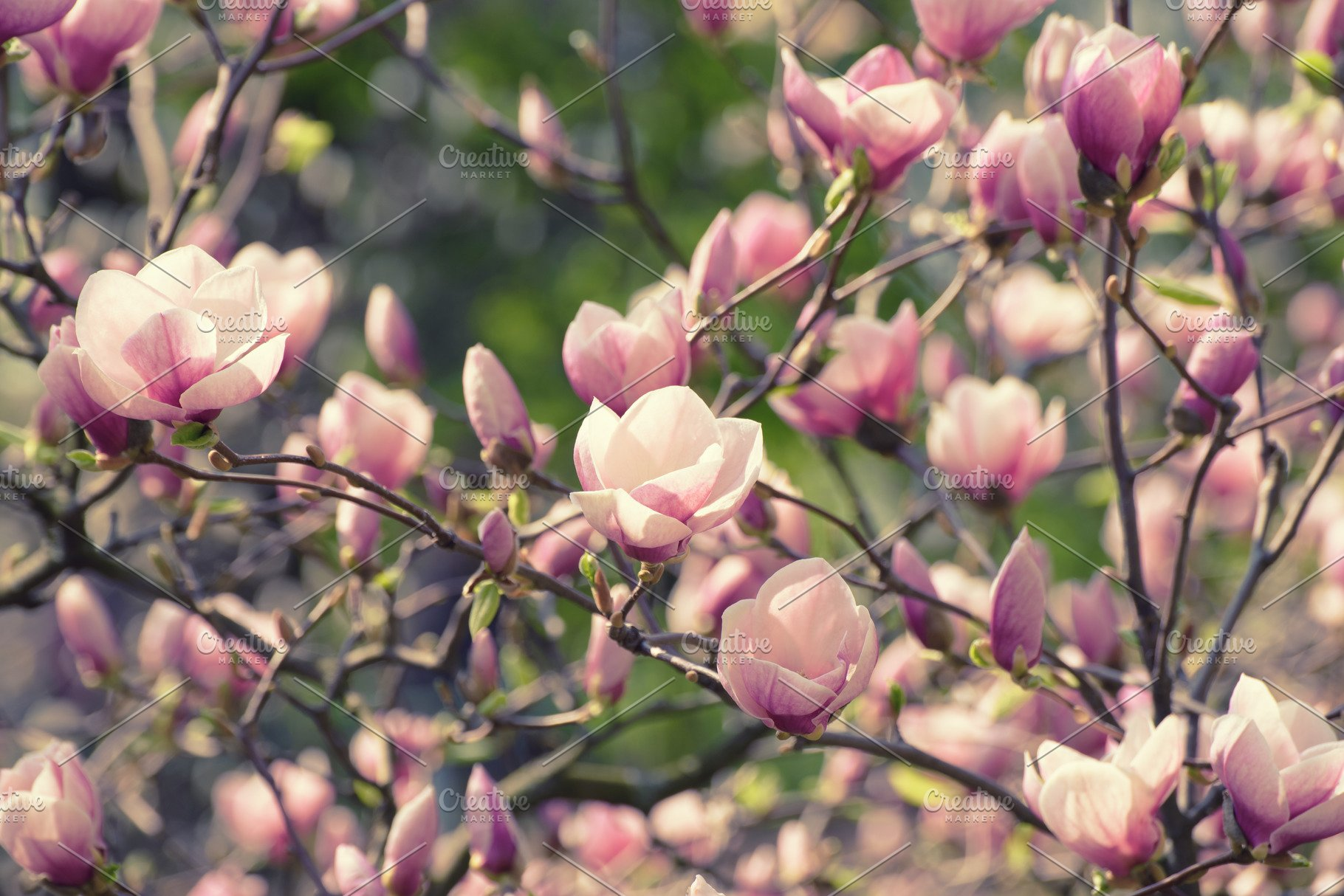 Magnolia Spring Flowers Nature Photos Creative Market