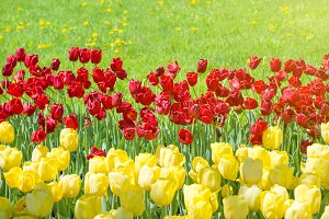 Red and yellow tulips in a park