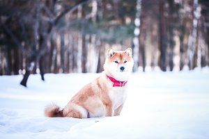 Dog of the Shiba inu