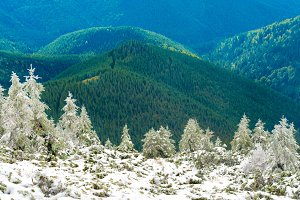 Panorama of pine trees in snow mount