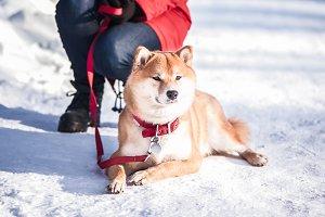 Dog of the Shiba inu