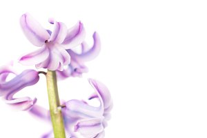 Spring flower purple hyacinth