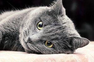 Grey cat lying on his side