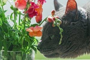 Grey cat sniffs flowers