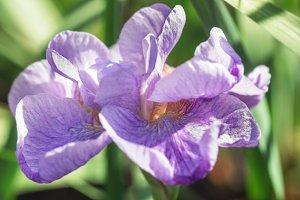 Blooming soft light purple iris