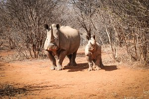 Mother White rhino with baby