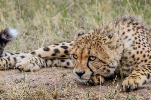 Cheetah laying in the grass.