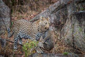 Female Leopard carrying cub.