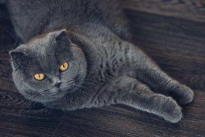 Scottish Fold cat lying on the floor