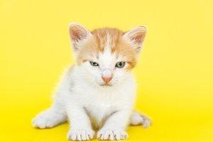 Little red kitten
