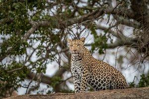 Female Leopard sitting on a rock.