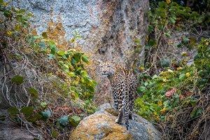 Female Leopard looking back.