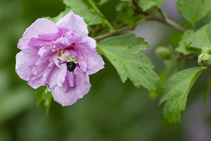 Bumble Bee After Rain