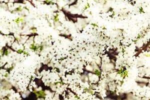 Blooming plum tree, rural landscape,