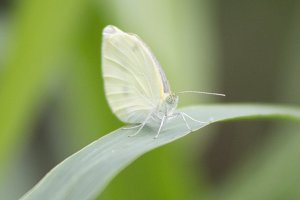 White Butterfly II