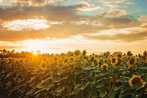 field of flowering sunflowers.
