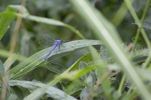 Blue Dragonfly II