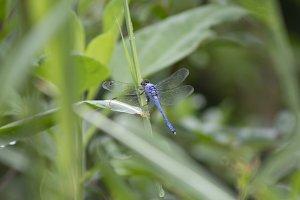 Blue Dragonfly III