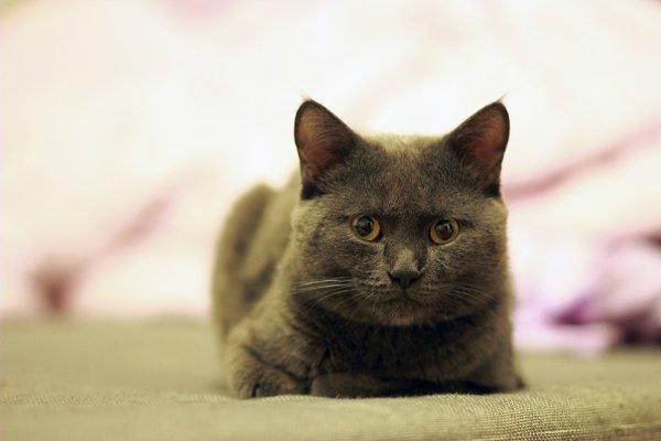 Portrait of a British cat lying on