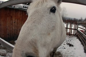 Portrait of a white horse close-up.