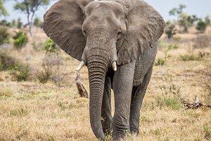 Elephant walking towards the camera