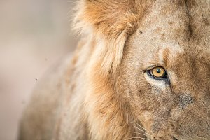 Close up of a male Lion.