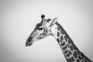 Side profile of a Giraffe