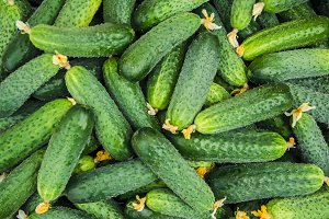 homemade cucumber cultivation and ha