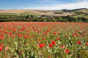 Poppy field in South Downs way