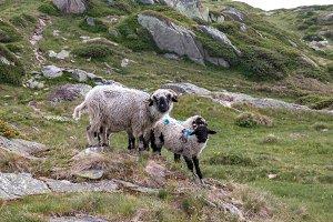 Sheep in Mountains of Switzerland