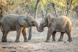 Elephants playing together