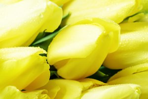 Yellow tulips, selective focus