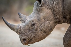 Side profile of a Black rhino