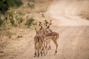 Female Impalas in a row