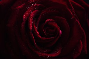 Red rose, dark background, shallow d