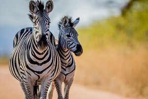 Two Zebras starring at the camera