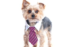 Dog, a yorkshire terrierin a tie and