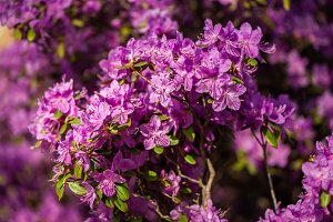Rhododendron pink , lilac flower fre