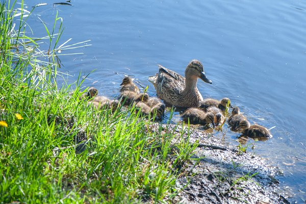 Duck with small ducklings
