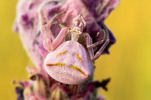 crab spider Thomisus pink onustus