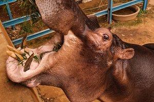 portrait of eating hippopotamus in N
