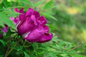 Peony flower background