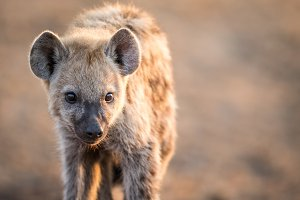 Baby Spotted hyena starring