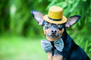 dog in a hat and a bow tie