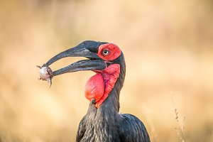 Southern ground hornbill with Frog
