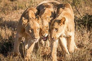 Bonding Lions