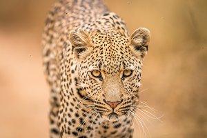 Leopard walking towards camera