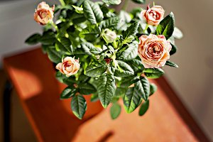 miniature rose bush in a flowerpot i