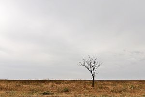 Lonely withered tree in a yellow fie